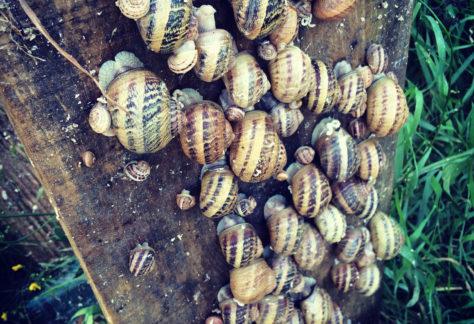 Nomades des Cévennes, Escargots